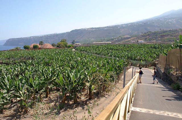 Banana plantations, La Orotava, Tenerife