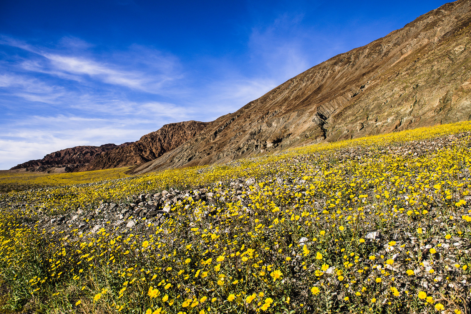 Death Valley in bloom, February 2016.