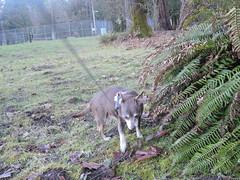 Hyzzie returns from sniffing ferns