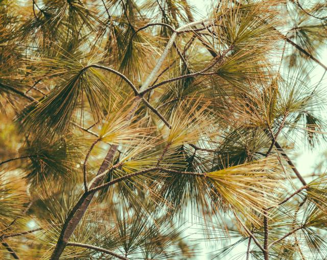 pine needles on tree
