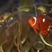Hybrid Anemone Fish