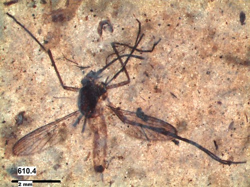 Kishenehn fossil mosquito