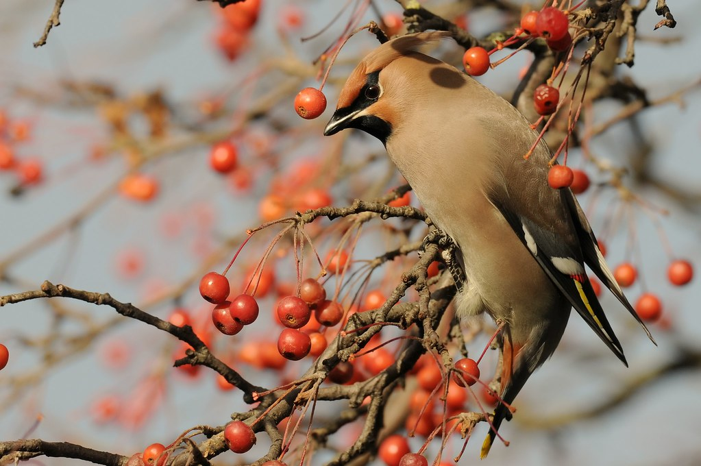 Waxwing amongst the rowan