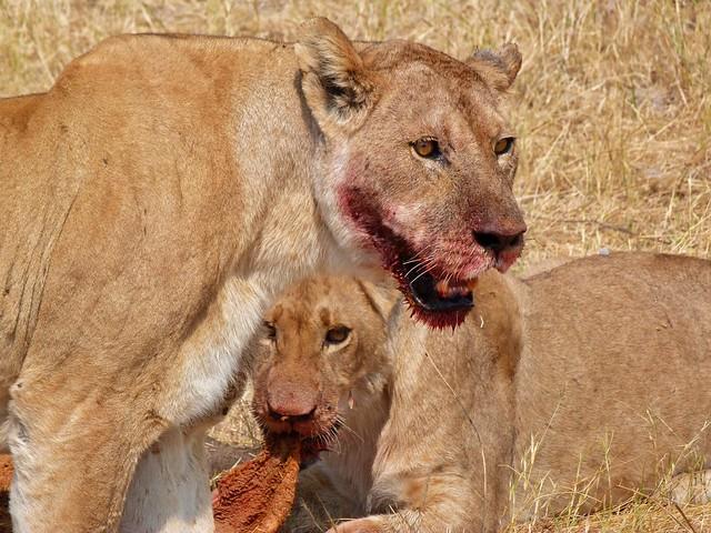 Leones comiendo un búfal oen Savuti (Botswana)