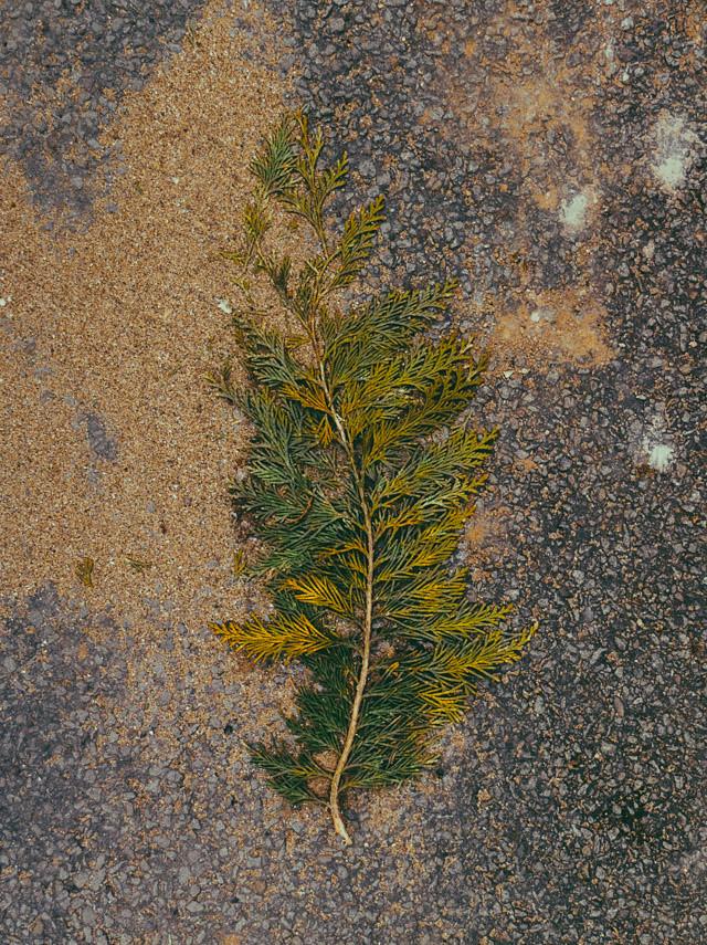 cedar tree branch