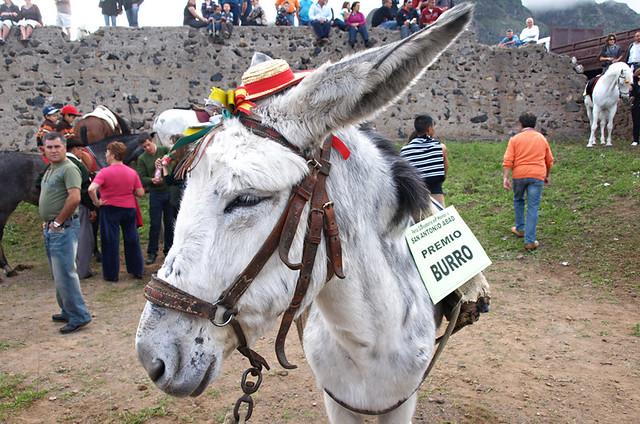 Donkey, San Abad, Buenavista del Norte, Tenerife