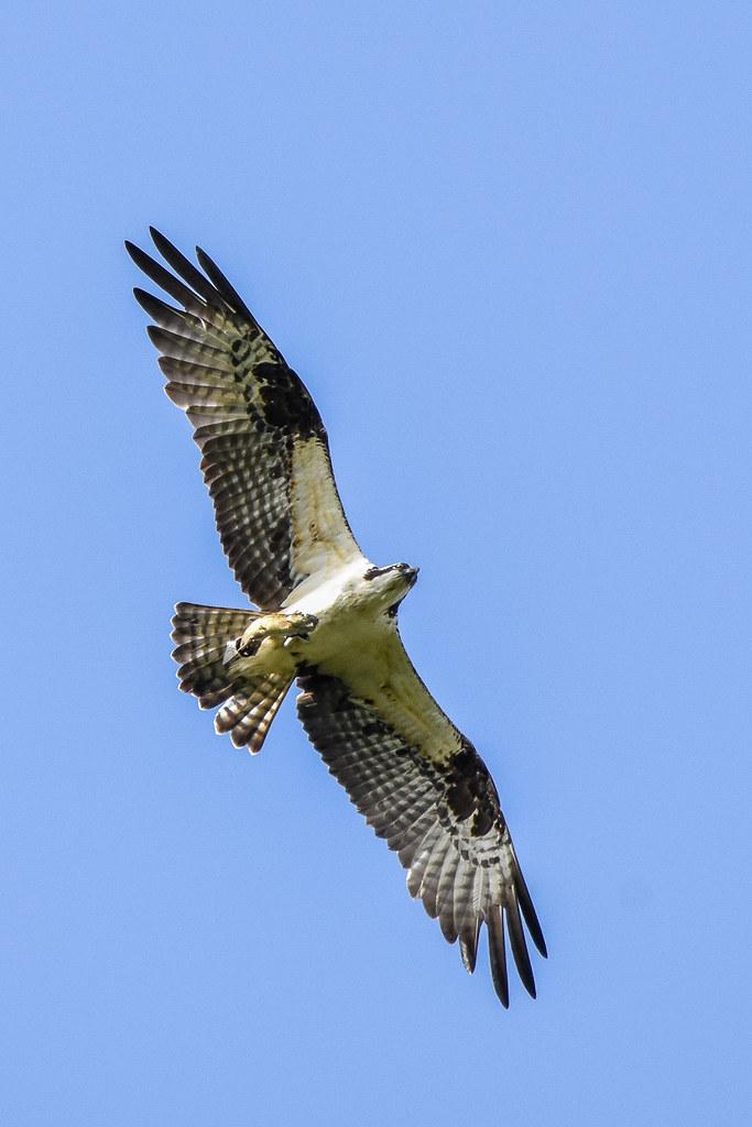 Osprey clawing fish lafayette reservoir lafayette ca for Lafayette reservoir fishing report