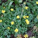 Marsh-Marigold3-winter-flowers-march2016-6