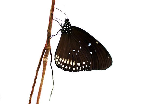 """Pflanzenschauhaus im Luisenpark Mannheim: In Tropenhaus flattern Hunderte von freifliegenden exotischen Schmetterlingen zwischen den Besuchern umher. Während man im Winter kaum eine Chance hat, hier zu fotografieren, weil das Kameraobjektiv manchmal bis zu einer Stunde lang beschlagen bleibt, wenn man vom Kalten in die feuchtwarme Luft des Tropenhauses kommt, geht es jetzt im April schon weitaus besser. Hier leben Schwalbenschwänze, Bananenfalter, blaue Himmelsfalter, Passsionsfalter, Baumnymphen ... und das Schöne ist, dass man in dem Schaukästen in der Nähe des Eingangs die Entwicklungsstadien vom Ei über die Raupe, von der Puppe bis zum frisch geschlüpften Schmetterling mitverfolgen kann. In diesem Schaukasten ist auch das """"grüne"""" Foto entstanden, das eine auf den ersten Blick etwas merkwürdig anmutende Sichtweise auf einen Schmetterling zeigt: nämlich von unten. Das war nur möglich durch eine Glasscheibe, die Fotografin und Schmetterling trennte. Einfach ist es nicht, diese schreckhaften Zappelphilippe mit der Kamera einigermaßen scharf zu erwischen, da sie Annäherungsversuche sofort bemerken und das Weite suchen. Man braucht viel Geduld und freut sich jedes Mal über ein paar einigermaßen gelungene Aufnahmen. Foto Brigitte Stolle April 2016"""