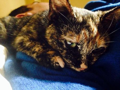 Sunny, preciosa gatita Carey mimosona y muy buena esterilizada, nacida en Septiembre´15, en adopción. Valencia. FALLECIDA. 26463104691_b15ccfc096