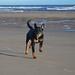 Rottweiler on Crimdon Beach