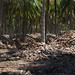 Coconut plantation near Coimbatore