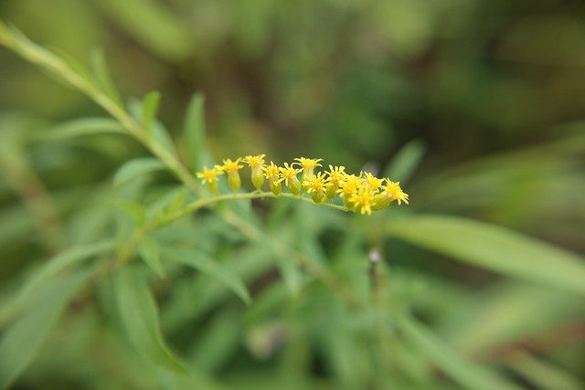 Riverbank goldenrod (Solidago rupestris)