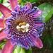 starr-150811-0581-Passiflora_quadrangularis-flower-Enchanting_Floral_Gardens_of_Kula-Maui