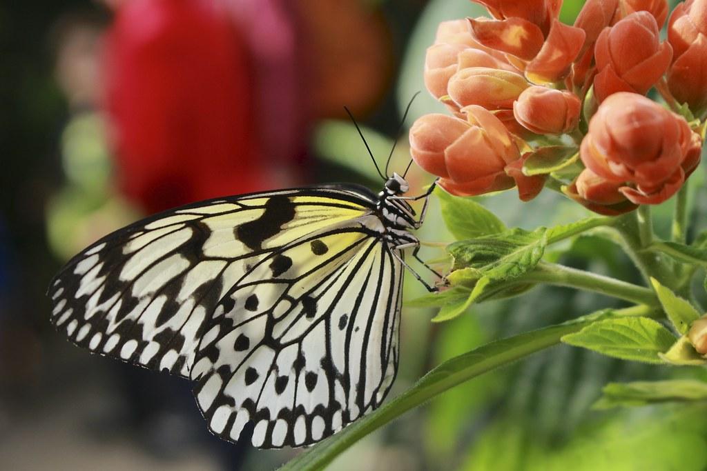 papillons en libert 2016 jardin botanique de montr al