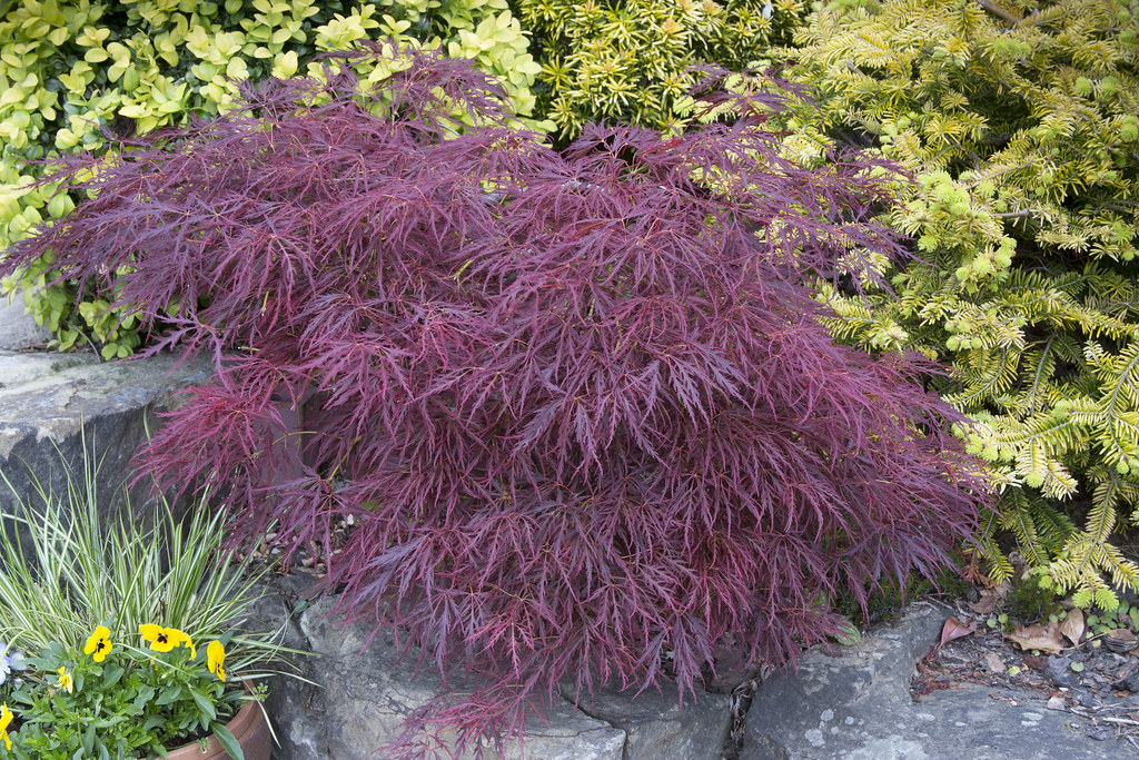 acer palmatum dissectum atropurpureum 39 39 garnet 39 in spring. Black Bedroom Furniture Sets. Home Design Ideas