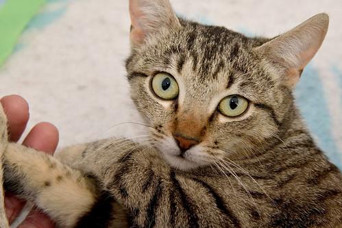 Tigris, gatita atigrada parda de ojazos verdes y cara redondita, tímida y sumisa esterilizada, nacida en Septiembre´15, en adopción. Valencia. ADOPTADA. 25164335321_71c73d72b1