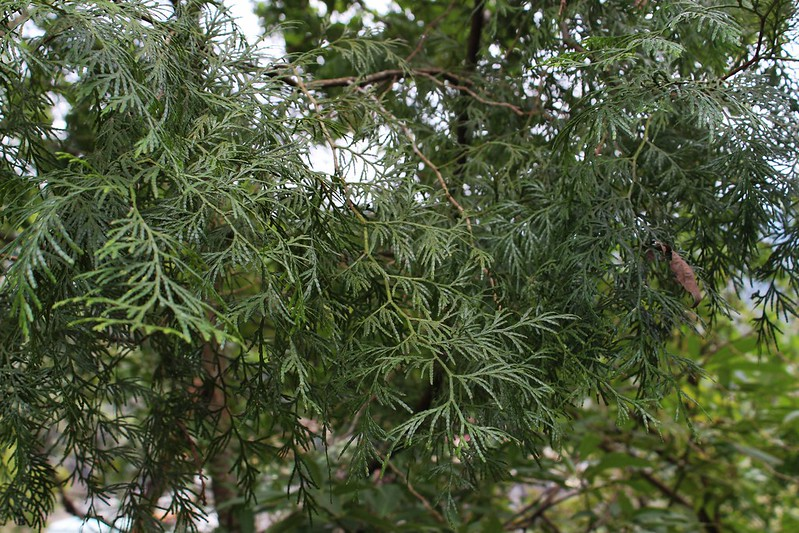 921大地震前種下的台灣肖楠,如今已長成大樹。攝影廖靜蕙