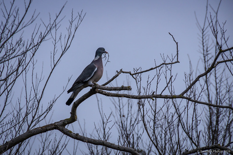 Una paloma torcaz