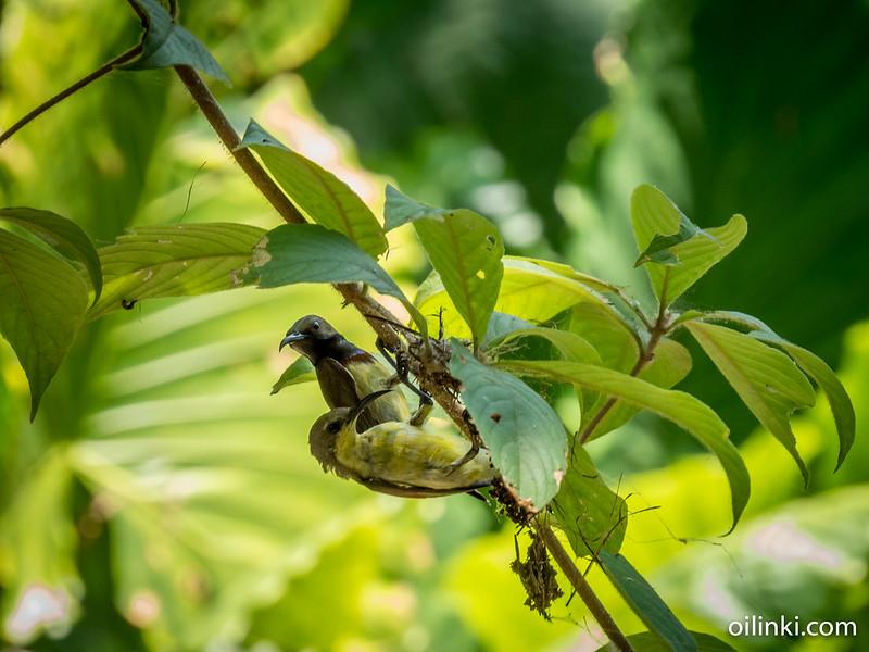 Olive backed sunbird couple making nest together