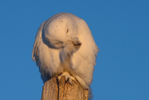 Snowy Owl With Prey