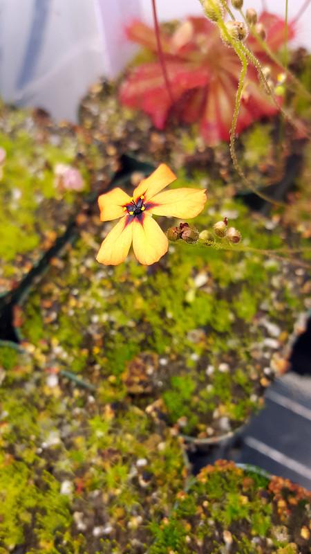 Drosera callistos flower.