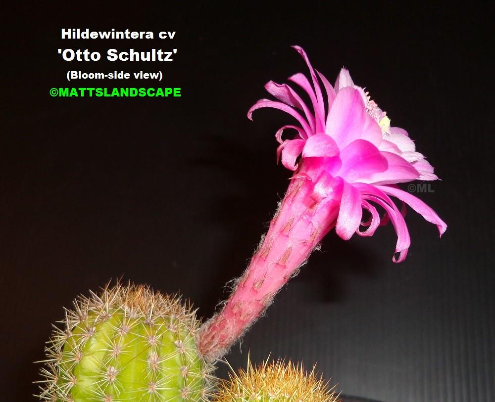 hildewintera cv  u0026 39 otto schultz u0026 39   bloom pic  2 side view