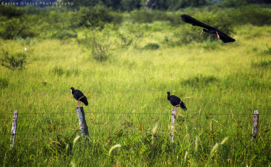 Cuervillo Cara Pelada / Bare-faced Ibis