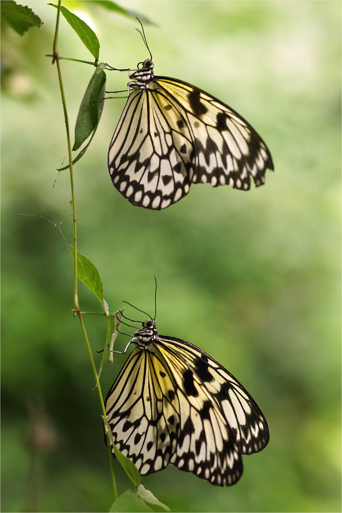 Paper kite butterflies the rice paper butterfly or paper for White paper butterflies