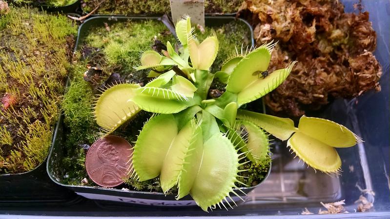 Dionaea muscipula 'Justina Davis' Venus flytrap.