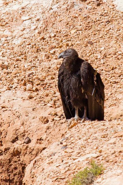 California Condor #722