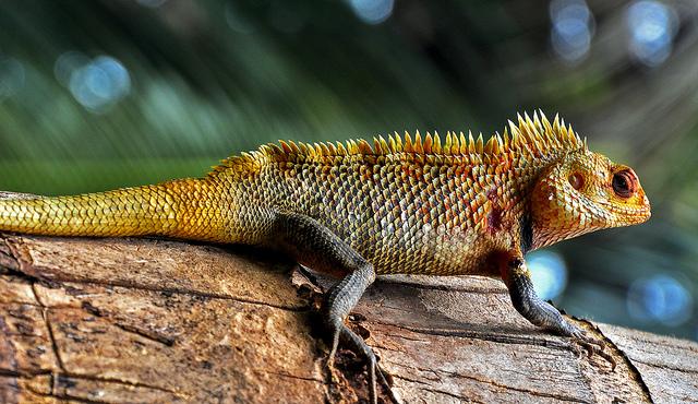變色樹蜥,分布於印度、安達曼群島、中南半島、阿富汗、斯里蘭卡以及中國大陸的雲南、廣東、海南、廣西等地,常見於林下、山坡草叢、墳地、河邊、路旁、住宅附近的草叢或樹幹上。圖片來源:Raj(CC BY 2.0)。變色樹蜥,分布於印度、安達曼群島、中南半島、阿富汗、斯里蘭卡以及中國大陸的雲南、廣東、海南、廣西等地,常見於林下、山坡草叢、墳地、河邊、路旁、住宅附近的草叢或樹幹上。圖片來源:Raj(CC BY 2.0)。Raj(CC BY 2.0)