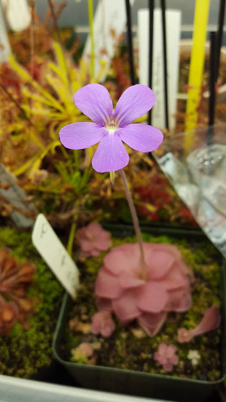 Pinguicula 'Pirouette' flower.