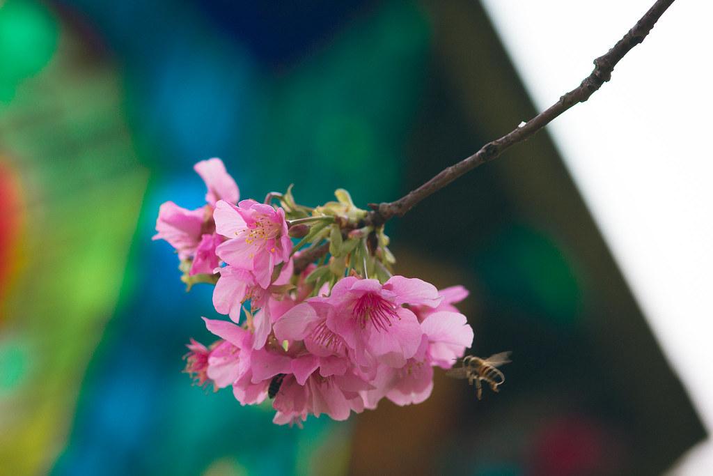 新竹公園櫻花