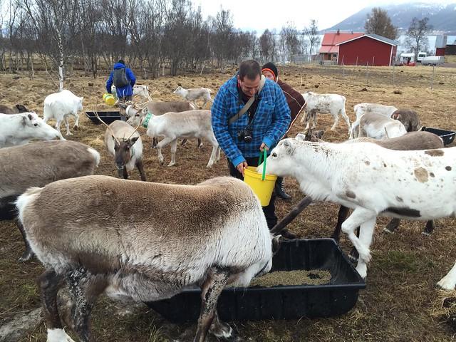 Sele dando de comer a los renos en Laponia Noruega