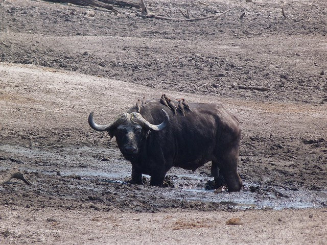 Búfalo solitario en el canal de Savuti (Chobe) antes de ser cazado por una manada de leones