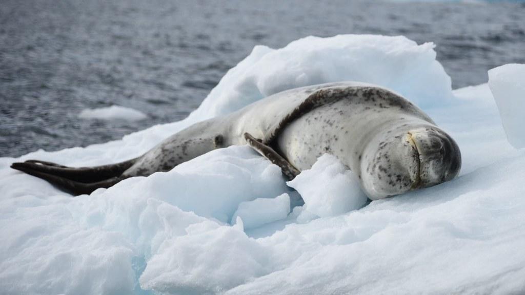 Leopard Seal Antarctica Scott Ableman Flickr