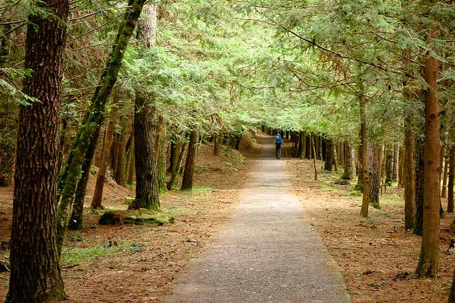 武陵山莊到桃山瀑布的兩側種植本土種的台灣杉,乍看之下覺得很美,仔細一想這種美一點都不自然,整個區域一點下層植被都沒有。圖片來源:蔡日興。