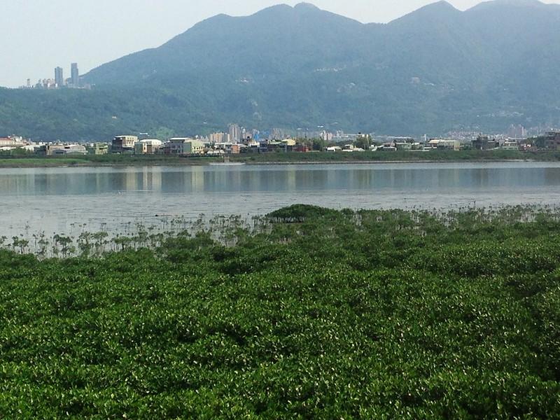 淡水河畔的灘地逐漸佈滿水筆仔。攝影:廖靜蕙。