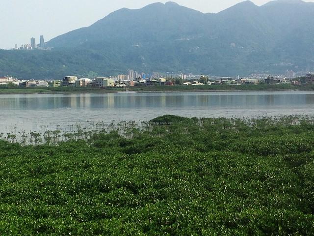 淡水河畔的灘地逐漸佈滿水筆仔。攝影:廖靜蕙