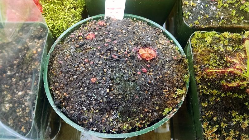 D. sessilifolia seedlings, 1-26-2015.