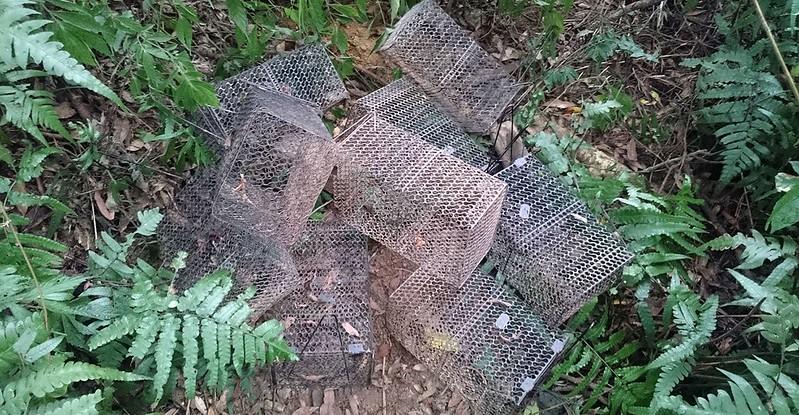 台灣不少地方所發現盜龜鼠籠常可撿拾成堆。圖片來源:陳添喜
