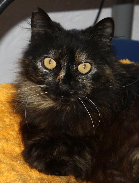 Indira, gata Carey cruce Persa de ojazos ocre esterilizada, mimosona, nacida en Agosto´12 en adopción. Valencia. ADOPTADA. 25823623914_c98f2a8f22_z
