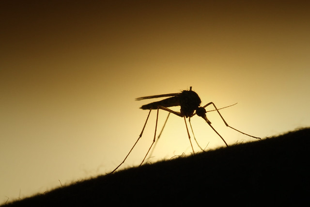 Mygg / Mosquito
