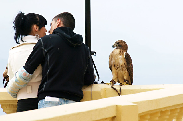 Bird of prey, San Abad, La Matanza, Tenerife