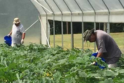 A crew from the Mississippi Band of Choctaw Indians taking care of crops inside a high tunnel