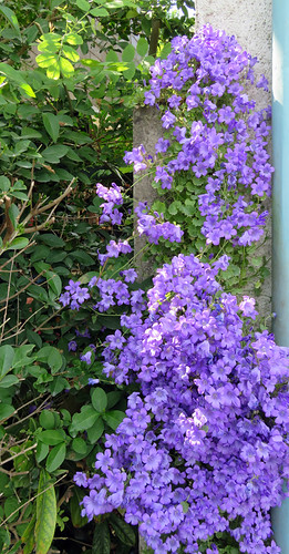 A cascade of purple flowers on a wall at St. Valery sur Sommes Medieval Village