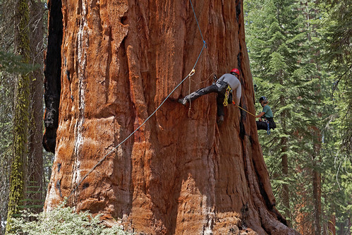 U.C. Berkeley biologists Cameron Williams and Rikke Naesborg measuring the trunk diameter of a giant sequoia