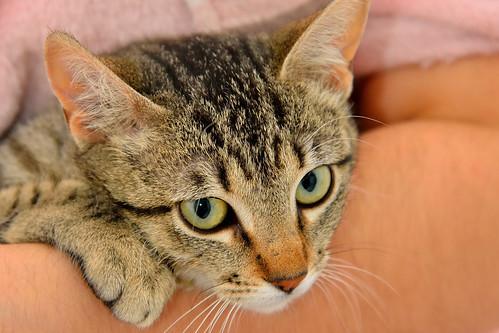 Tigris, gatita atigrada parda de ojazos verdes y cara redondita, tímida y sumisa esterilizada, nacida en Septiembre´15, en adopción. Valencia. ADOPTADA. 25164283681_e9ddd3f493
