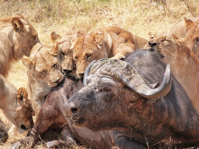 Leones atacan a un búfalo en Savuti (Botswana)